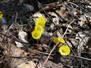 colts-foot-early-spring-flowers